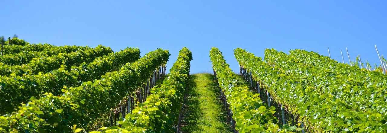 vignobles Anjou